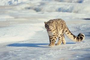 Indien Schneeleopard