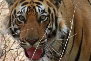 Indien-Bengal-Tiger