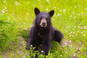Kanada Schwarzbär Jung