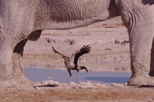 Elefant Namibia