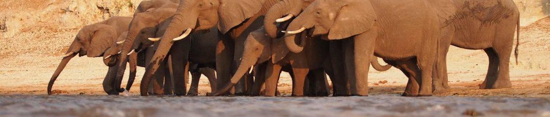 Elefantenherde Botswana