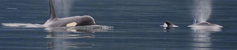 Killerwale Pazifik